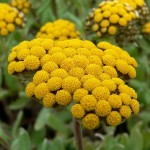 Helichrysum Essential Oil for hearing loss, tinnitus and ear healing